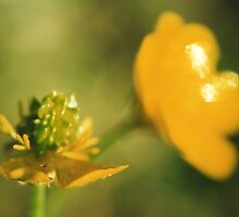 Buttercups by Chelsea Kerwath