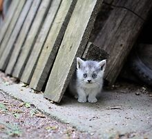 Blue Eyed Kitten Looking Relaxed by Inimma
