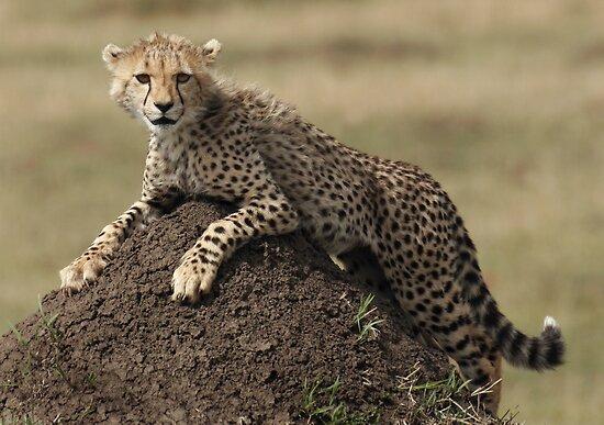 Cheetah Cub by Steve Bulford