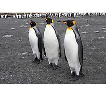 "King Penguins ~ ""On Parade"" Photographic Print"