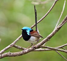 Variegated Fairy-wren by Robert Elliott