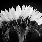 Sunflower Mono by Alan Hawkins