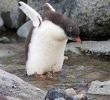 "Gentoo Penguin chick ~ ""Practise Makes Perfect"" by Robert Elliott"