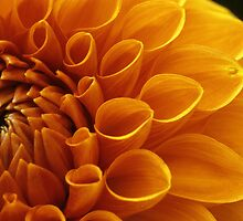 Orange Dahlia  by Don Guindon