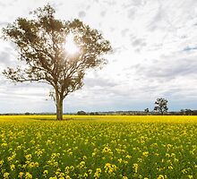 Cudal Canola Fields by Jack Chauvel