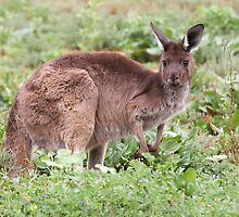 Western Grey Kangaroo by Robert Elliott