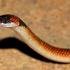 Orange-naped snake by Stewart Macdonald