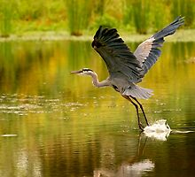 Heron Liftoff by Kenneth Haley