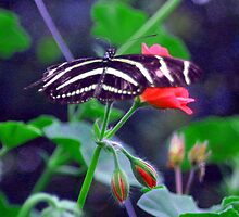 Zebra longwing by courier