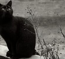 Black cat... by Louise LeGresley