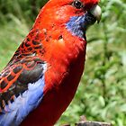 Crimson Rosella by Sybelle