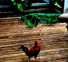A Rooster and a Peacock Tail by karolina