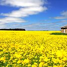 Canola Fields, Ballarat by Matt  Lauder
