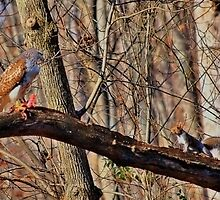 Red-Tail Hawk has a Visitor by Robert Burns Miller