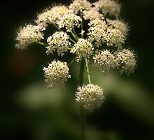 Cow Parsley by Neil Bygrave (NATURELENS)