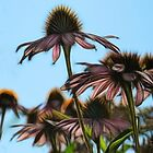 Parasols Of Echinacea  by Tracy Deptuck