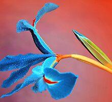 Iris by Basia McAuley