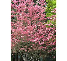 dogwood spring Photographic Print