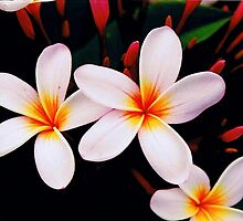 frangipani blossoms from home by SusanC