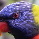 Rainbow Lorikeet by Tom Newman