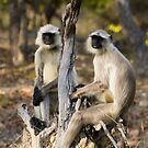 Thoughtful Langur Monkeys by Neil Bygrave (NATURELENS)