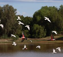 Flock of Galahs by Mark Ingram