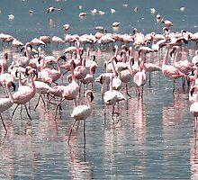 Flamingos by Robert Blamey
