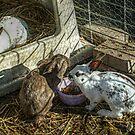 Three Beautiful Rabbits in the Petting Zoo at Secor Farms, Mahwah NJ by Jane Neill-Hancock