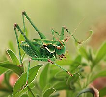 Leaf Hopper by Ken  Aitchison