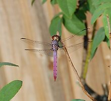 Yet another Dragonfly by BiGPaPa