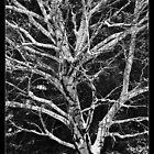 Weeping Birch by mymamiya