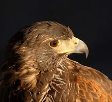 Immature Female Harris Hawk by raptrlvr