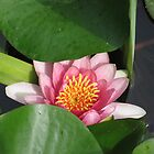 Pink Lotus Blossom Peeks Out by Harriette Knight