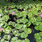 Lotsa Lotuses by Harriette Knight