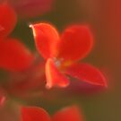 Small red flower by Christian  Zammit