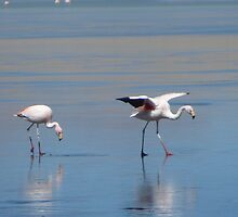 Flamingoes in the Salar by Zac Gillett