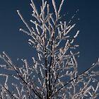 Winter birch... by Maj-Britt Simble