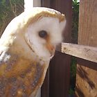 barn owl by brucemlong