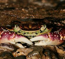 Crab-New Zealand Beauty by DebblesNZ