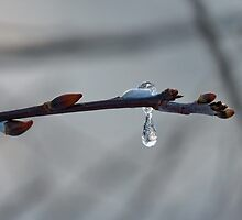Frozen Dew Drop by AnnDixon