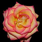Pink Rose by Peter Green