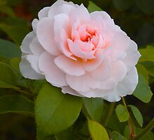 Shrub Rose 'Wildeve' by Dency Kane