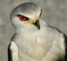 Black Shouldered Kite II by Macky