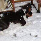A Snow Dog by AnnDixon