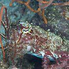 Wary Cuttlefish by Mark Rosenstein