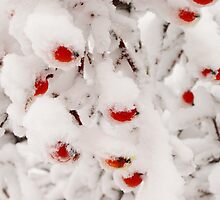 Red berries under snow by lvinst