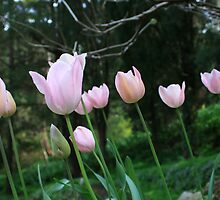 Pink Tulips, Araluen by Leigh Penfold