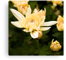 White Chrysanthemum - fine art garden photography by Megan Campbell Canvas Print