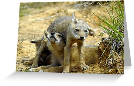 Coyote pups by Mundy Hackett