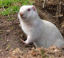 Albino ground squirrel by Darbs